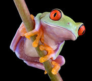 Red-eyed tree frog on stem. A baby red-eyed tree frog is perched on a plant stem Stock Image