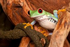 Red eyed tree frog studying environment. Frog watching environment between two branches Stock Image
