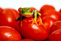 Red Eyed Tree Frog on a Tomato. A dark green red eyed tree frog precariously balanced on a pile of wet cherry tomatoes Royalty Free Stock Image