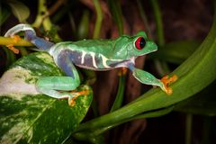 The red eyed tree frog travels. On plant leaves royalty free stock images