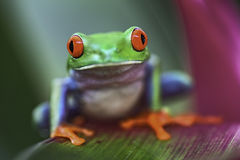 Red eyed tree frog Royalty Free Stock Image