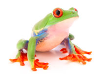 Red eyed tree frog a tropical animal. From the endangered rain forest in Costa Rica siolated on white royalty free stock photography