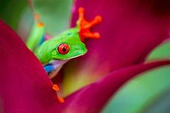 Red eyed tree frog from the tropical jungle of Costa RIca. Nicaragua and Panama, a macro of an exotic rain forest animal royalty free stock photo