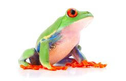 Red eyed tree frog from the tropical rain forest of Costa Rica and Panama. A cute funny exotic animal with vibrant eyes isolated on a white background royalty free stock photography