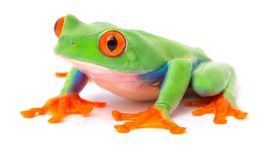 Red eyed tree frog from the tropical rain forest of Costa Rica and Panama. A cute funny exotic animal with vibrant eyes isolated on a white background stock photos