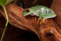 Red eyed tree frog in tropical rain forest. Red eyed tree frog crouching on a branch and looking down Royalty Free Stock Photo