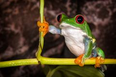 Red eyed tree frog in very important pose sitting in the terrarium. Red eyed tree frog in very substantial pose sitting on the plant stem royalty free stock photography