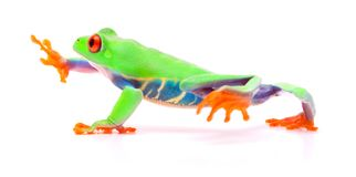 Red eyed tree frog walking, Agalychnis callydrias. A tropical rain forest animal with vibrant eye isolated on a white background royalty free stock photography