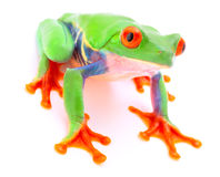 Red eyed tree frog  on white background Royalty Free Stock Images