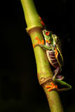 Red-eyed Tree frogs Stock Photos