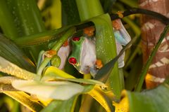 Red-eyed tree frogs in the jungle. Red-eyed tree frogs playing between orchids Royalty Free Stock Photography