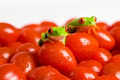 Red Eyed Tree Frogs on Tomatoes. Two colorful red eyed tree frogs on wet cherry tomatoes Stock Photo