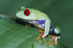 Red-eyed Treefrog. (Agalychnis callidryas) Central America royalty free stock photography