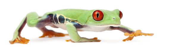 Red-eyed Treefrog, Agalychnis callidryas Stock Photography