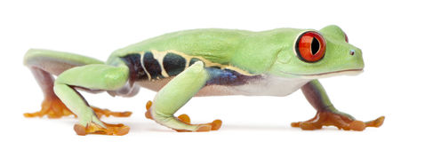 Red-eyed Treefrog, Agalychnis callidryas Royalty Free Stock Photos