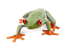 Red-eyed Treefrog, Agalychnis callidryas Royalty Free Stock Photos