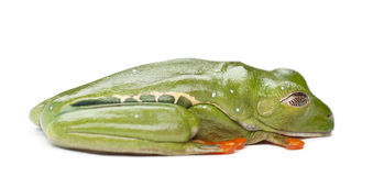 Red-eyed Treefrog, Agalychnis callidryas Royalty Free Stock Images