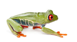Red-eyed Treefrog, Agalychnis callidryas Stock Photo