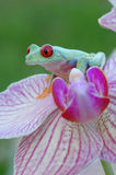 Red-eyed treefrog (Agalychnis callidryas) Royalty Free Stock Photo