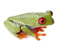 Red-eyed Treefrog, Agalychnis callidryas, against white backgrou Stock Images
