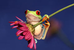 Red-eyed Treefrog on Flower. Red-eyed tree frog hanging on a flower Stock Photography