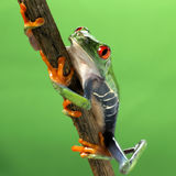 Red eyed treefrog macro isolated. Exotic frog curious animal bright vivid colors Agalychnis calydrias beautiful eye colorful amphibian looking up closeup Stock Image