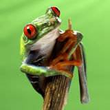 Red eyed treefrog macro isolated. Exotic frog curious animal bright vivid colors Agalychnis calydrias beautiful eye colorful amphibian looking up closeup Stock Photos
