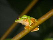 Red-eyed treefrogs. A pair of red-eyed tree frogs from Costa Rica stock photography