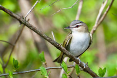 Red-eyed Vireo Royalty Free Stock Photo