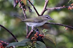 Red-eyed Vireo at A.D. Barnes Park in Miami, Florida stock photo