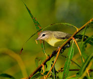 Red-eyed Vireo Royalty Free Stock Photography