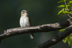 Red-eyed vireo Stock Photography