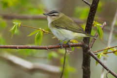Red-eyed Vireo Stock Photo
