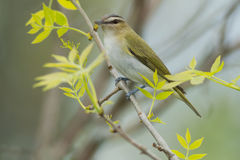Red-eyed Vireo Stock Photos