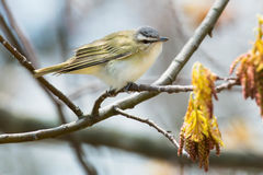 Red-eyed Vireo. Perched on a branch Royalty Free Stock Image