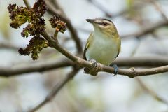 Red-eyed Vireo - Vireo olivaceus. Red-eyed Vireo perched on a branch looking up. Ashbridges Bay Park, Toronto, Ontario, Canada royalty free stock image