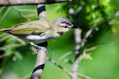 Red-Eyed Vireo Perched in a Tree Stock Photography