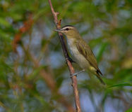 Red-eyed Vireo Stock Images