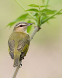 Red-eyed Vireo poses on plant Stock Photo