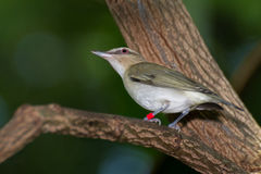 Red-eyed Vireo. A red-eyed warbler perched on a branch Royalty Free Stock Photos