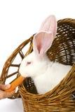 Red-eyed weißes Kaninchen, das Karotte in einem Korb isst Stockfoto