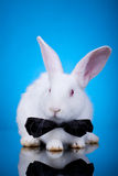 Red eyed white bunny. Wearing a neck bow on a blue background royalty free stock photos