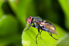Red eyes Royalty Free Stock Images