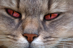 Red eyes cat. Possessed cat Royalty Free Stock Images