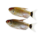 Red Eyes Fishes Royalty Free Stock Photo