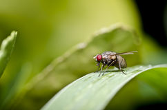Red eyes fly on green leaf Royalty Free Stock Image