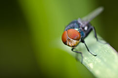 Red eyes fly on green leaf Royalty Free Stock Photo