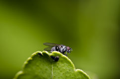 Red eyes fly on green leaf Stock Photo