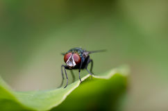 Red eyes fly on green leaf Stock Photos