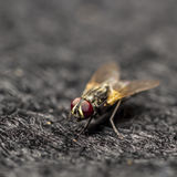 Red eyes of the fly Royalty Free Stock Photography